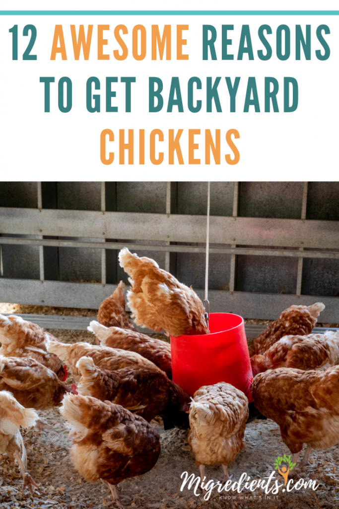 Reasons to get backyard chickens